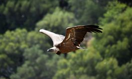 Vulture in spain flying in the sky stock images