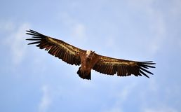 Vulture in spain flying in the sky royalty free stock photo