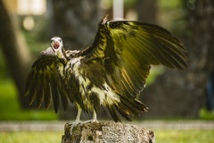A vulture spreading its wings Stock Photo
