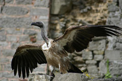 Vulture spreading wings. Against a ruine background Royalty Free Stock Images