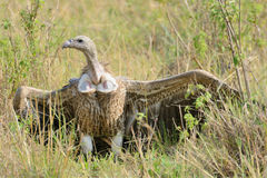 A vulture standing on the meadow Stock Image