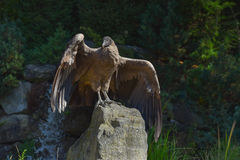 Vulture standing on the rock Stock Photo