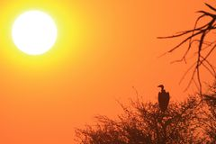 Vulture and Sunset Background from Africa - Silhouette of Orange Gold and Mysterious Beauty Stock Images