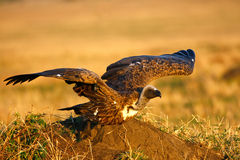 Vulture taking off Royalty Free Stock Images