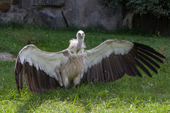 Vulture taking a sunbath Royalty Free Stock Images