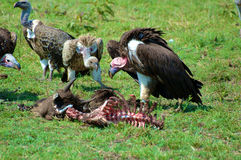 Vulture in tanzania national park Royalty Free Stock Photo