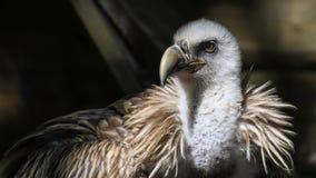 Vulture, Tawny, Raptor, Bird Stock Photos