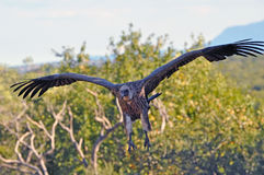 Vulture about to pounce on his prey. Vulture looking for prey. About to swoop down on to its prey Stock Photos