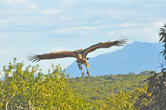 Vulture about to pounce on his prey. Vulture looking for prey. About to swoop down on to its prey Stock Image