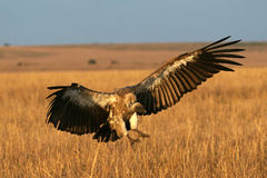 Vulture touch-down. African white-backed vulture touching down on plains near kill Royalty Free Stock Images