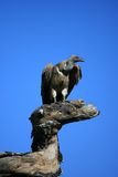 Vulture on tree Royalty Free Stock Image