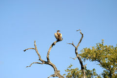 Vulture in a Tree Stock Photo