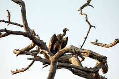 Vulture in tree Stock Photography