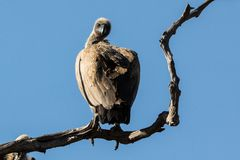 A vulture is on a twisted branch of a tree.