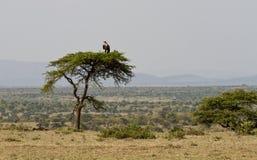 Vulture on an umbrella acacia tree Stock Image