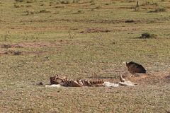 Vulture. Bird at carcass in Africa Stock Image