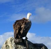 Vulture watch Royalty Free Stock Images