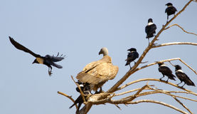 Vulture watching crow fly Royalty Free Stock Image