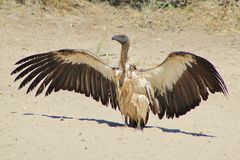 Vulture, White-backed - African Birds of Prey - Death Reaper Stock Photo
