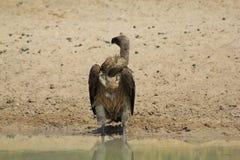 Vulture, White-backed - Neck breaker Royalty Free Stock Photo