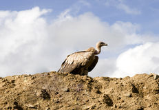 Vulture in wild Stock Photo