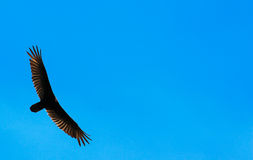Vulture Wing Span. Vulture in the blue sky with wide wing span on left side of image stock images
