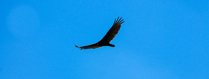 Vulture Wing Span Center Royalty Free Stock Photos