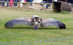 Vulture wings Stock Images