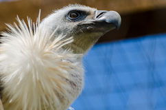 Vulture. A vulture in the zoo Royalty Free Stock Photo
