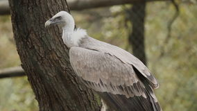 Vulture in zoo stock footage