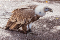 Vulture in the zoo Royalty Free Stock Photography