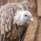 Vulture in the zoo Stock Photos