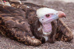 Vulture in the zoo Stock Photo