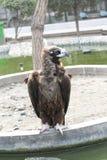 Vultures Aegypius monachus Stock Images