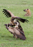 Vultures. In the Masai Mara Royalty Free Stock Photos