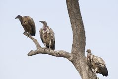 Vultures. Three scavengers wait on a bare tree trunk and branch of an acacia tree in the Masai Mara of Kenya Stock Images