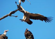 Vultures. Vulture landing on a branch between two others Royalty Free Stock Images