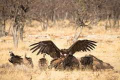 Vultures Stock Photos