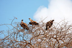 Vultures. Three vultures on a tree Stock Photo