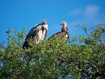 Vultures Royalty Free Stock Photography