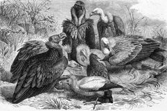 Vultures Royalty Free Stock Image