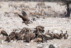 Vultures Stock Photography