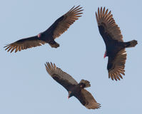 Free Vultures Royalty Free Stock Images - 29452629
