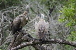 vultures Fotografia Stock Libera da Diritti