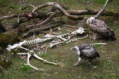 vultures Fotografia Stock