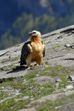 Vultures in the Aragonese Pyrenees Royalty Free Stock Photography