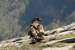 Vultures in the Aragonese Pyrenees in Spain. A semiadulto vultures in the Aragonese Pyrenees in Spain Stock Photography