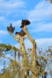 Vultures. Atop a dead tree in the swamp Stock Image