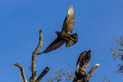 Vultures in Brazos Bend. American Vultures take roost in an old Oak Tree in Brazos Bend State Park in Texas Royalty Free Stock Image