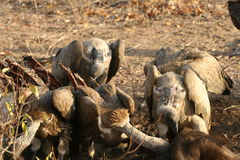 Vultures after a buffalo kill. Vultures in the Kruger National Park cleaning up after Lions killed a Buffalo royalty free stock photo